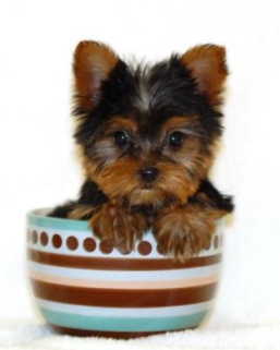 yorkie-in-a-teacup